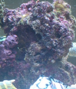 Live rock with red and purple algae