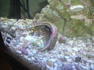 Pink Coralline Algae on live rocks, pebbles, and shells