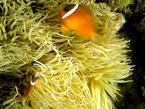 Anemone with Fish