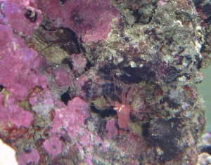 Peppermint Shrimp Hiding in a Live Rock